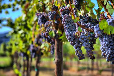 Италия остается лучшим производителем вина, несмотря на снижение урожая винограда