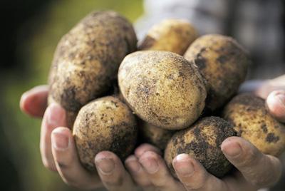 В России ввели новый ГОСТ на картофель