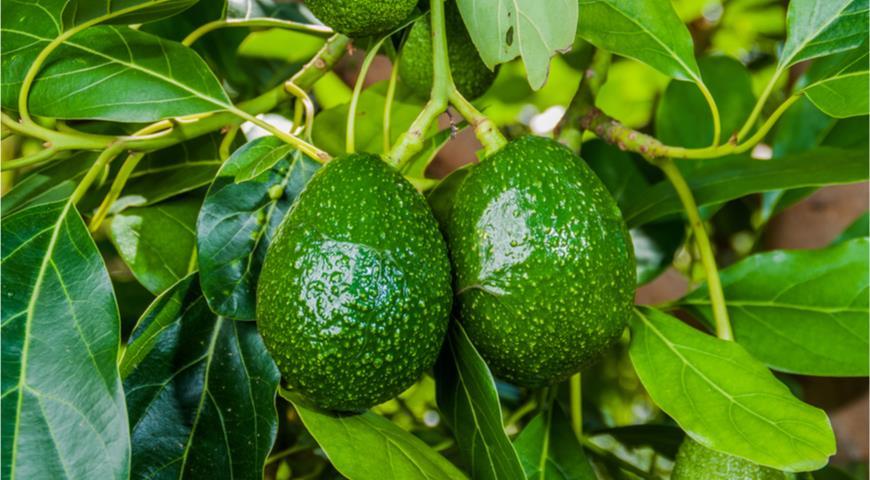 18090 20 занимательных фактов об авокадо