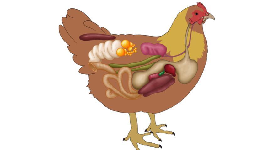 Что такое куриные пупочки на самом деле?