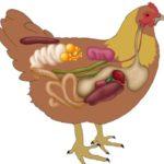 18162 Что такое куриные пупочки на самом деле?