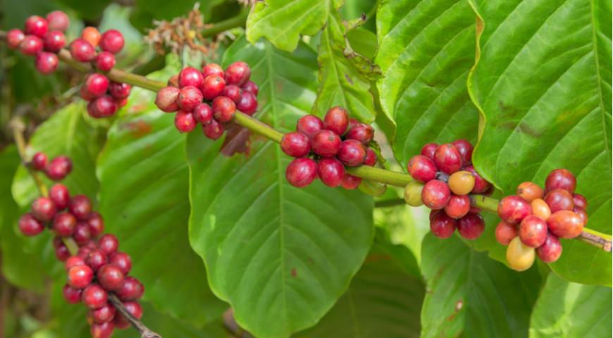 19357 Что отвечает за вкус настоящего кофе: химия, генетика, обжарка? Вся правда от эксперта