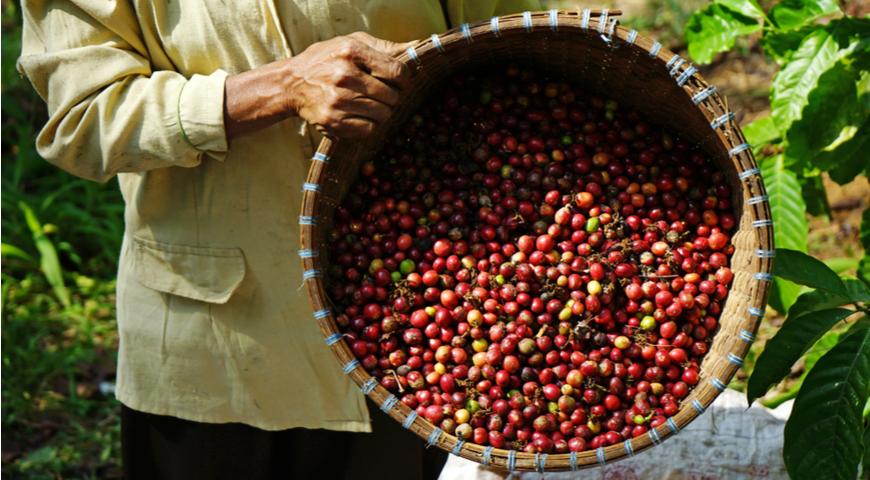 Все плюсы и минусы робусты, кому и почему понравится бюджетный кофе